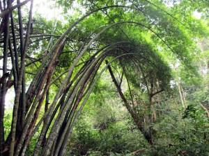 Bambun blir stor i regnskogen.