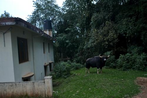 Vi gav oss ut på en morgonpromenad en dag och till min stora skräckblandade förtjusning stötte vi en gaur. Lite läskigt att den var så nära, varje år dör nämligen folk av att ha blivit attackerade av dessa djur i området men vi tog det väldigt lugnt och jag fick mig en bild!