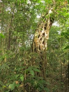 Häftiga träd i regnskogen.