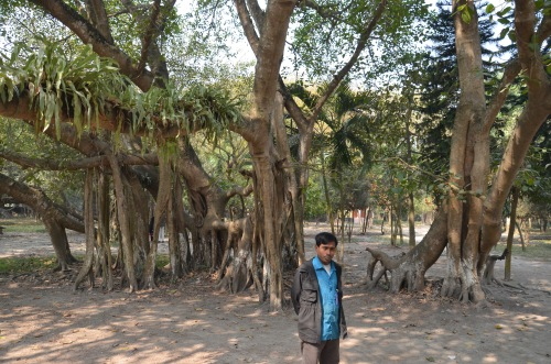 Asia's second biggest Banyan Tree. Mollikpur, Kaligunj.